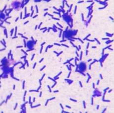 侧孢芽孢杆菌