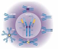CHRNA1抗体
