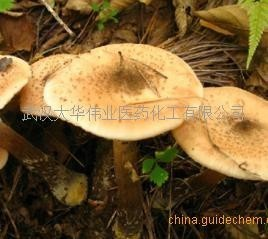 蜜环菌菌粉(菌)80目