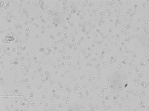 S180小鼠腹水ai细胞