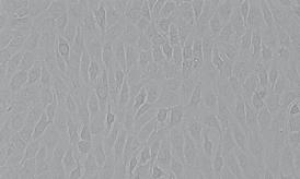 HK-2人肾皮质近曲小管上皮细胞