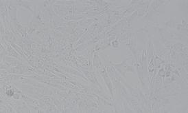 L6大鼠成肌细胞