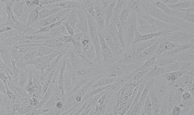 VERO非洲绿猴肾细胞