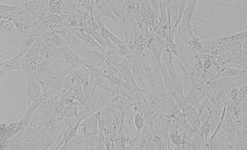 C2C12小鼠成肌细胞