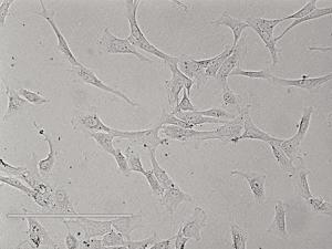Rat Esophageal Epithelial Cells大鼠食管上皮细胞