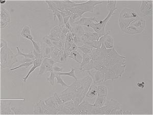Rat Lens Epithelial Cells大鼠晶状体上皮细胞