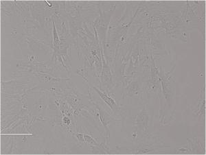 Rat Retinal Pigment Epithelial Cells大鼠色素上皮细胞
