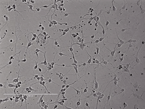 Rat Spinal Cord Neurons大鼠脊髓神经元