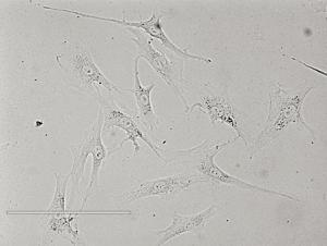 Rat Tracheal Epithelial Cells大鼠气管上皮细胞